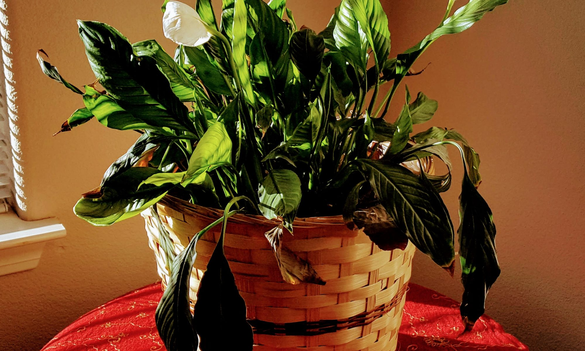 Picture of the peace lily in bloom