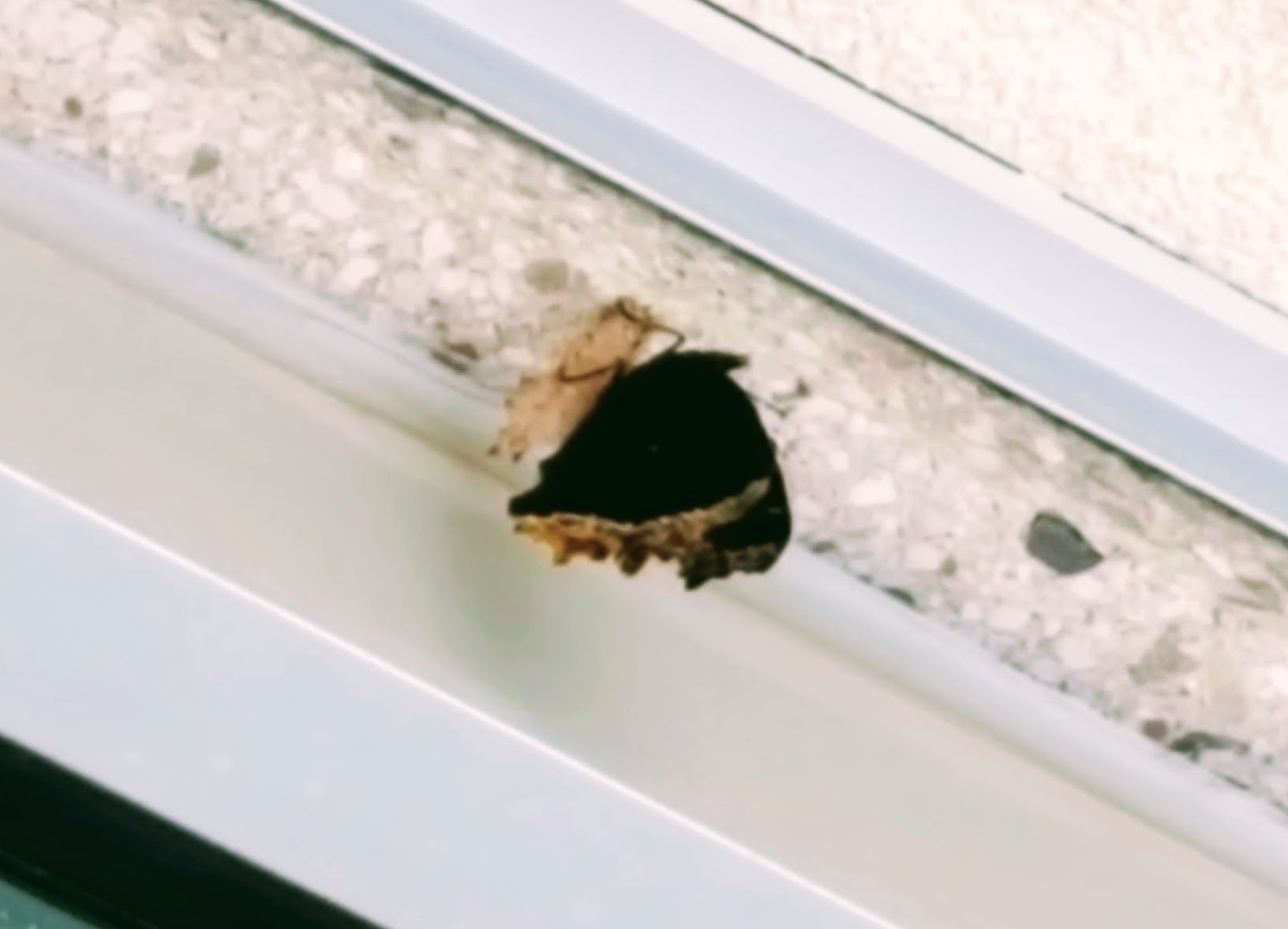 Photo of just emerged mourning cloak hanging from the eave