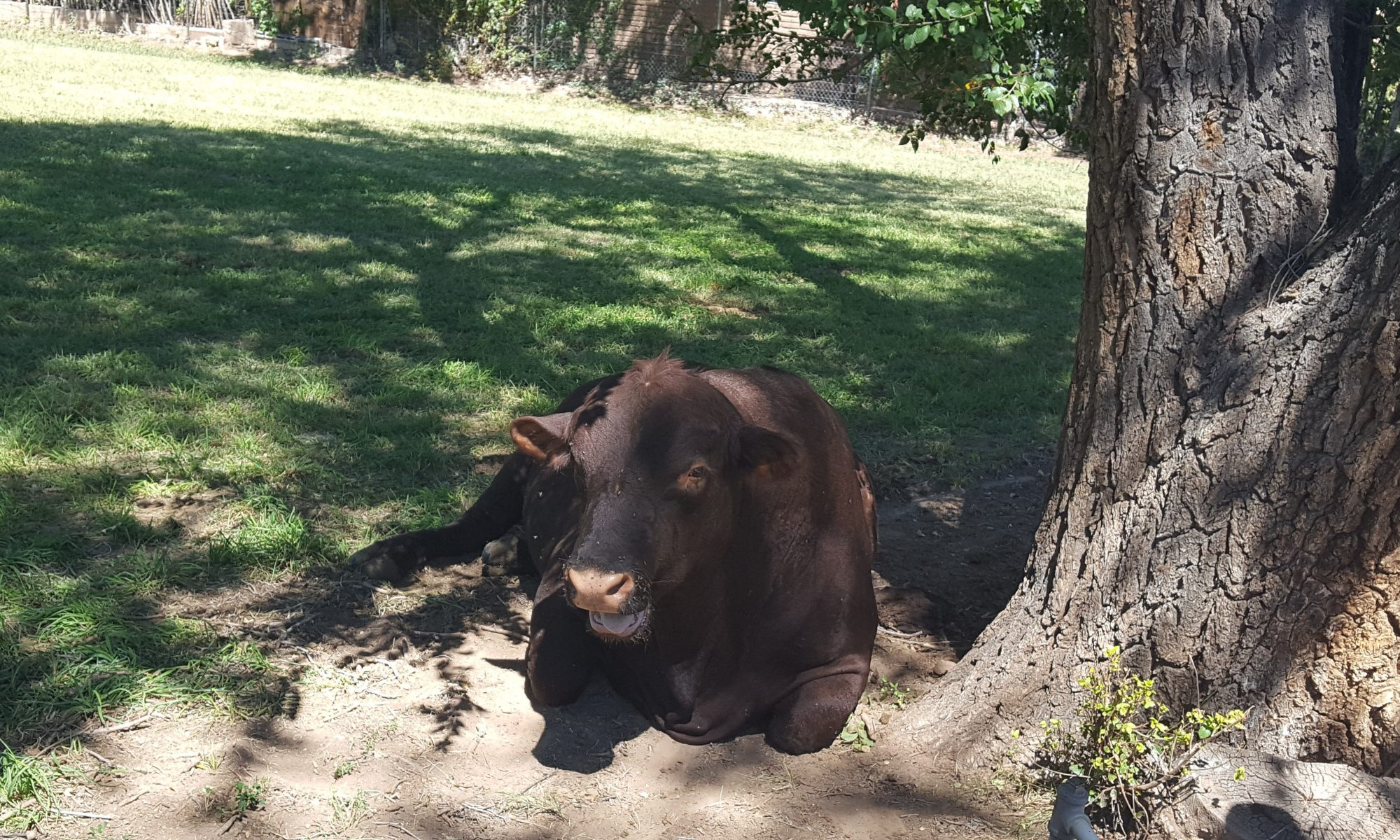 Photo of a cow lying under a Cottonwood