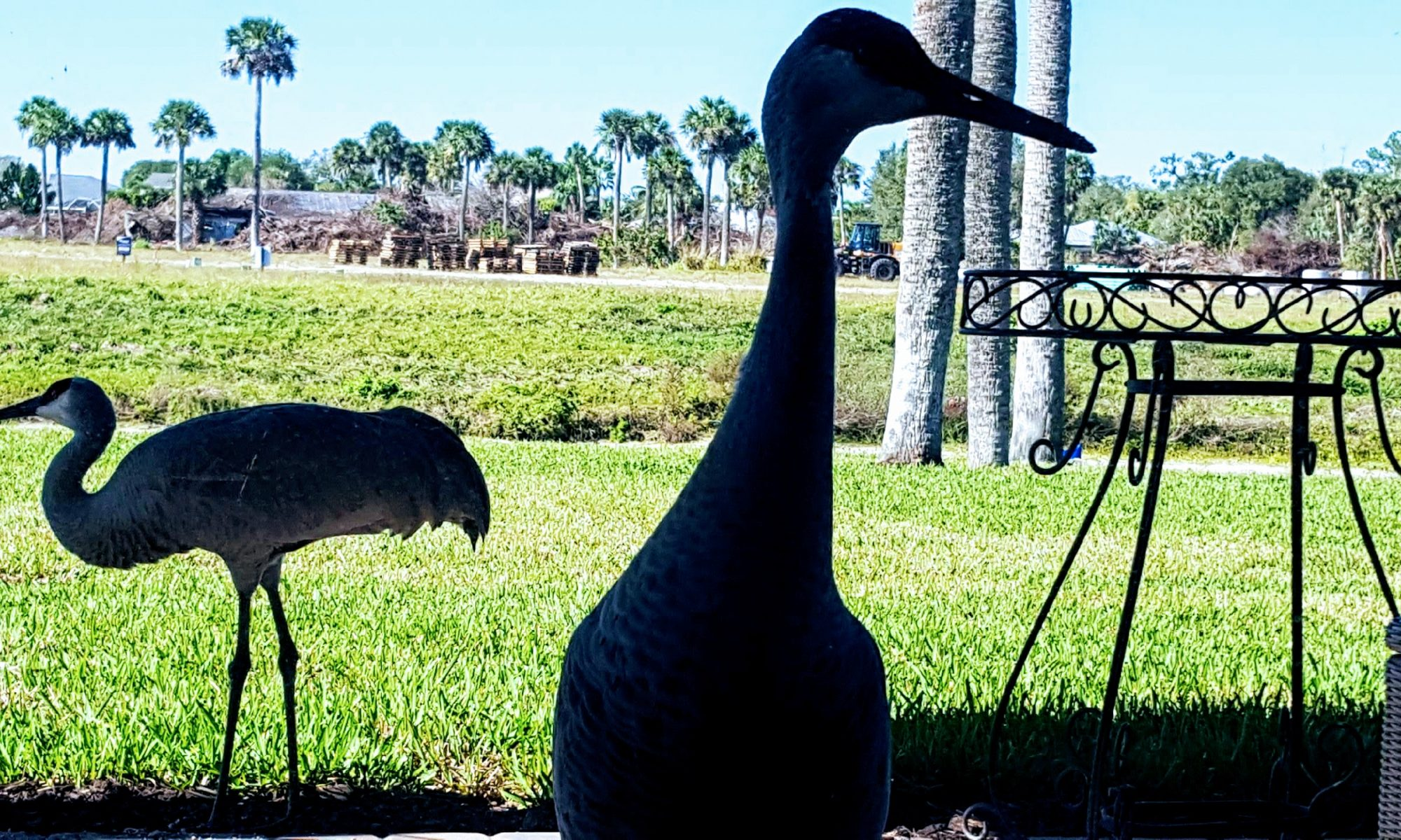 Photo of Cranes on the lanai.